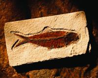 Balık Fosili - ART-203