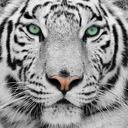 Beyaz Kaplan resim
