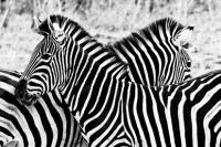 İki Zebra - IMB-379