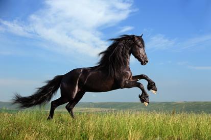 Koşan Arap Atı resim