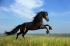 Koşan Arap Atı k0
