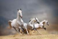 Koşan Kır Atlar - IMB-C-374