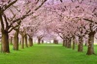 Pembe Çiçekli Ağaçlar - IMB-C-118