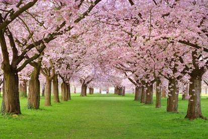 Pembe Çiçekli Ağaçlar resim