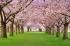 Pembe Çiçekli Ağaçlar k0