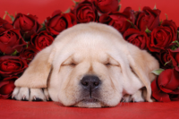 Puppy & Roses - IMB-385