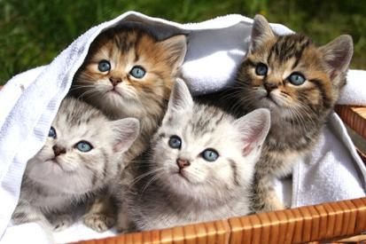 Sepetteki Kedi Yavruları resim