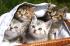 Sepetteki Kedi Yavruları k0