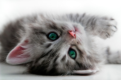 Sevimli Kedi 0