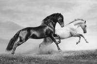 Siyah ve Beyaz At - IMB-370