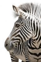 Zebra - IMB-378