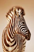 Zebra - IMB-380