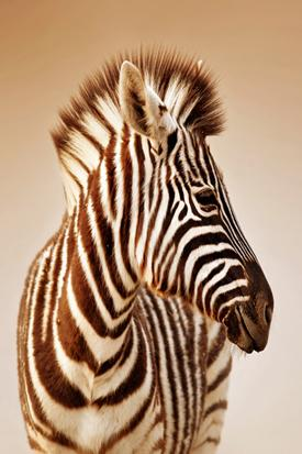 Zebra resim