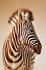 Zebra k0