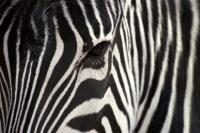 Zebra - IMB-382