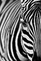 Zebra - IMB-383