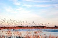 Göçmen Kuşlar - DM-C-042