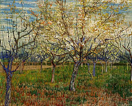 Orchard With Blossoming Apricot Trees resim