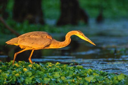 Balıkçıl Kuş 0
