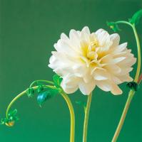 Beyaz Çiçek - CT-C-194