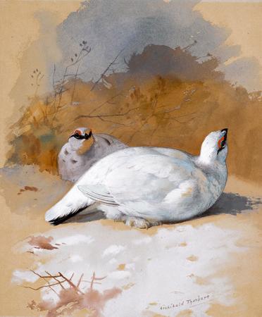 Beyaz Keklikler resim