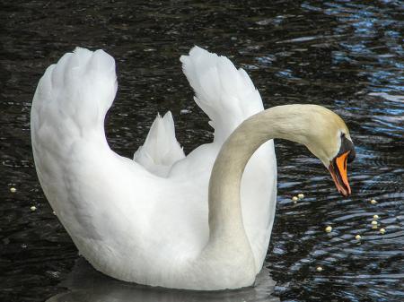 Beyaz Kuğu 0