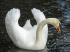 Beyaz Kuğu k0