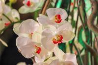 Beyaz Orkide - CT-C-237