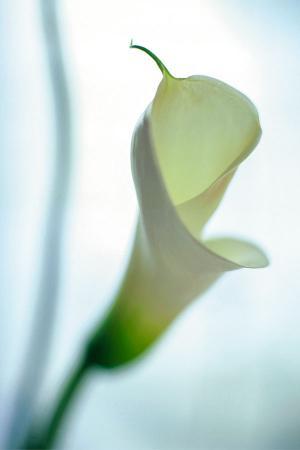 Beyaz Zambak resim