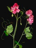 Çiçek - CT-C-184