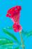 Çiçek k0