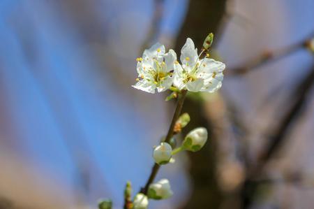 Çiçekli Dal resim