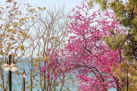 Deniz ve Çiçek Açan Ağaçlar resim