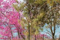 Deniz ve Çiçek Açan Ağaçlar - CT-C-236