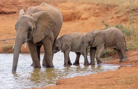Fil ve Yavruları 0