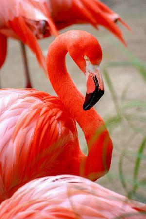 Flamingo resim