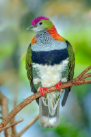Fruit Dove - HT-C-173