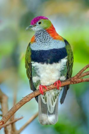 Fruit Dove resim