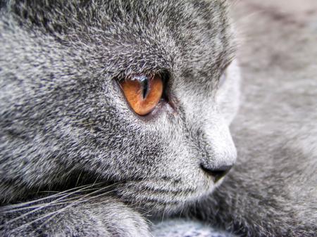 Gri Kedi resim