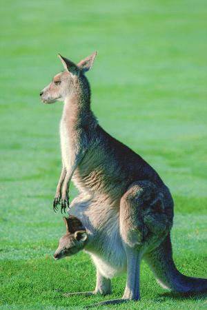 Kanguru resim