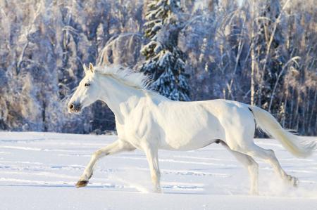 Karlar Üzerinde Beyaz At 0