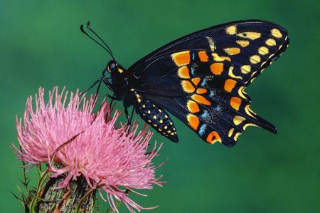 Kelebek 0