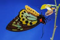Kelebek - HT-C-112