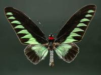 Kelebek - HT-C-153