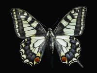 Kelebek - HT-C-154