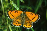 Kelebek - HT-C-158