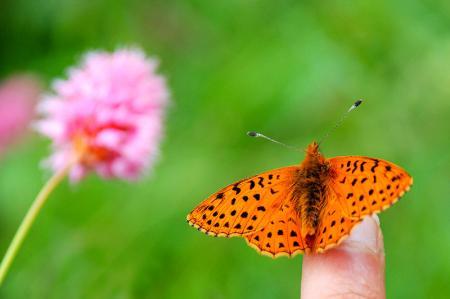 Kelebek ve Pembe Çiçek resim