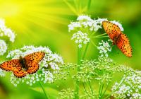 Kelebekler - HT-C-165
