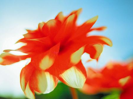 Kırmızı Çiçek 0