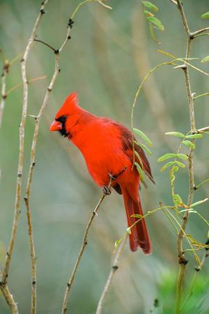 Kırmızı Kuş resim